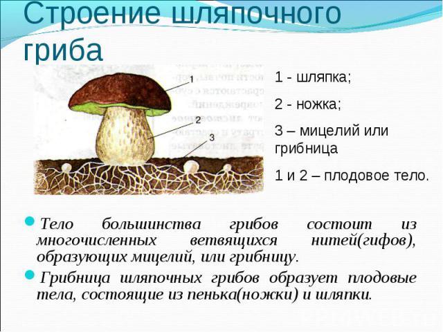 Тело большинства грибов состоит из многочисленных ветвящихся нитей(гифов), образующих мицелий, или грибницу. Тело большинства грибов состоит из многочисленных ветвящихся нитей(гифов), образующих мицелий, или грибницу. Грибница шляпочных грибов образ…