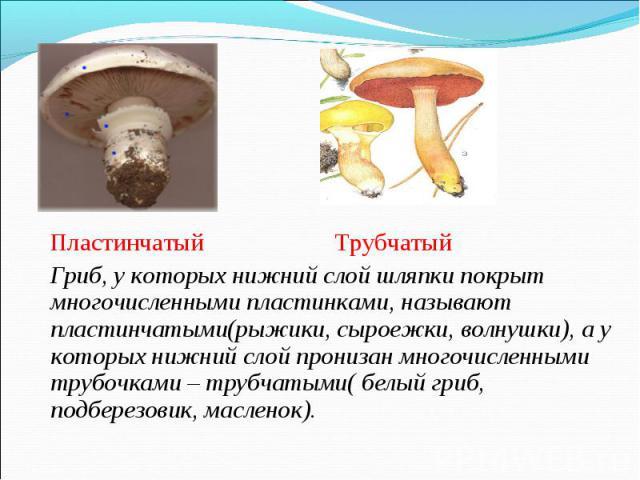 Пластинчатый Трубчатый Пластинчатый Трубчатый Гриб, у которых нижний слой шляпки покрыт многочисленными пластинками, называют пластинчатыми(рыжики, сыроежки, волнушки), а у которых нижний слой пронизан многочисленными трубочками – трубчатыми( белый …