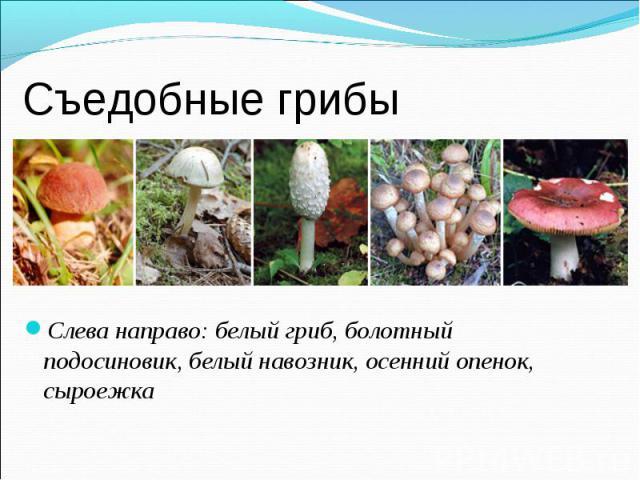 Слева направо: белый гриб, болотный подосиновик, белый навозник, осенний опенок, сыроежка Слева направо: белый гриб, болотный подосиновик, белый навозник, осенний опенок, сыроежка