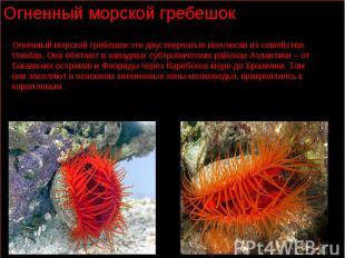Огненный морской гребешок это двустворчатые моллюски из семейства Umidae. Они об