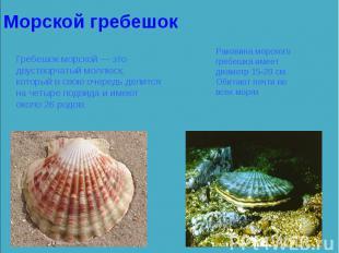 Гребешок морской — это двустворчатый моллюск, который в свою очередь делится на