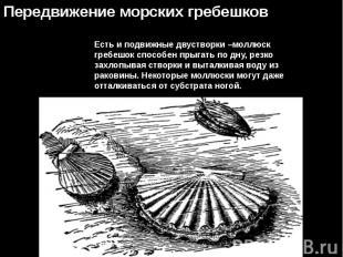 Есть и подвижные двустворки –моллюск гребешок способен прыгать по дну, резко зах