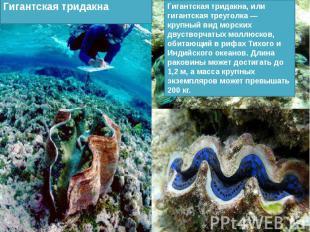 Гигантская тридакна, или гигантская треуголка — крупный вид морских двустворчаты