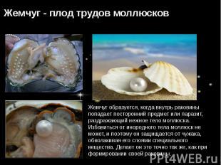 Жемчуг образуется, когда внутрь раковины попадает посторонний предмет или парази