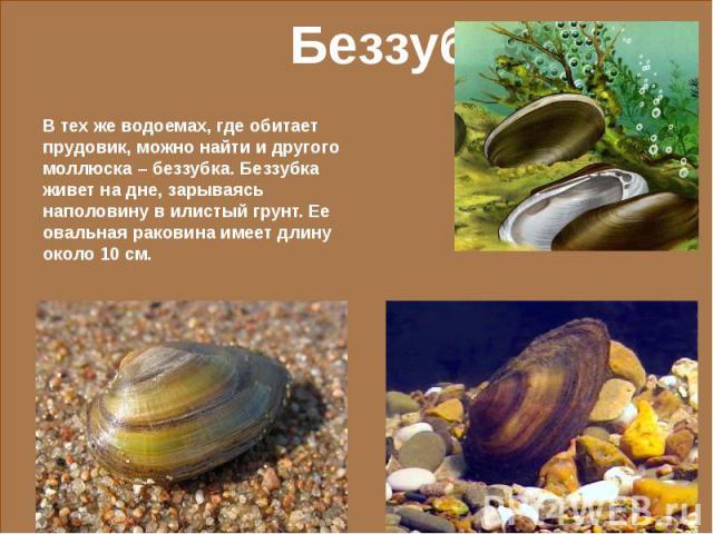 В тех же водоемах, где обитает прудовик, можно найти и другого моллюска – беззубка. Беззубка живет на дне, зарываясь наполовину в илистый грунт. Ее овальная раковина имеет длину около 10 см.