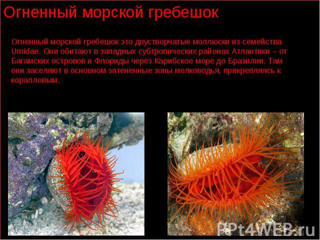 Огненный морской гребешок это двустворчатые моллюски из семейства Umidae. Они обитают в западных субтропических районах Атлантики – от Багамских островов и Флориды через Карибское море до Бразилии. Там они заселяют в основном затененные зоны мелково…