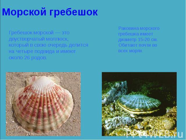 Гребешок морской — это двустворчатый моллюск, который в свою очередь делится на четыре подвида и имеют около 26 родов.