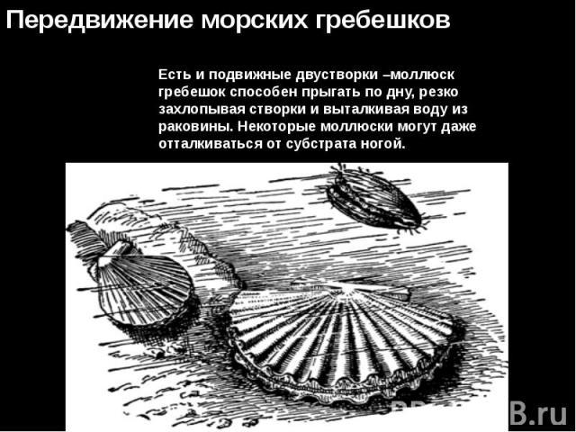 Есть и подвижные двустворки –моллюск гребешок способен прыгать по дну, резко захлопывая створки и выталкивая воду из раковины. Некоторые моллюски могут даже отталкиваться от субстрата ногой.