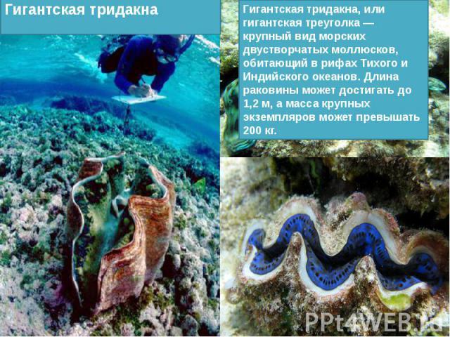 Гигантская тридакна, или гигантская треуголка — крупный вид морских двустворчатых моллюсков, обитающий в рифах Тихого и Индийского океанов. Длина раковины может достигать до 1,2 м, а масса крупных экземпляров может превышать 200 кг.