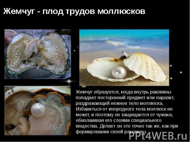 Жемчуг образуется, когда внутрь раковины попадает посторонний предмет или паразит, раздражающий нежное тело моллюска. Избавиться от инородного тела моллюск не может, и поэтому он защищается от чужака, обволакивая его слоями специального вещества. Де…