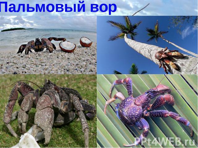 Пальмовый вор