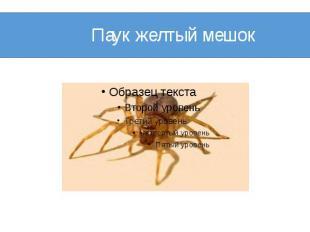 Паук желтый мешок