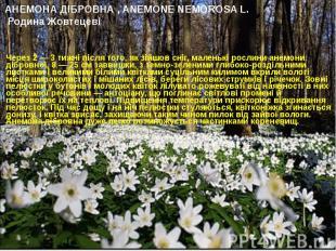 АНЕМОНА ДІБРОВНА , ANEMONE NEMOROSA L. Родина Жовтецеві Через 2 — 3