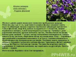 Фіалка запашнаviola odorata l.Родина фіалковіФіалка з давніх-д