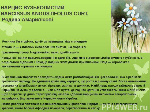 НАРЦИС ВУЗЬКОЛИСТИЙNARCISSUS ANGUSTIFOLIUS CURT.Родина АмарилісовіРослина багаторічна, до 40 см заввишки. Має сплющене стебло, 2 — 4 плоских сизо-зелених листки, що зібрані в приземному пучку. Надзвичайно гарні, здебільшого поодинокі, кв…