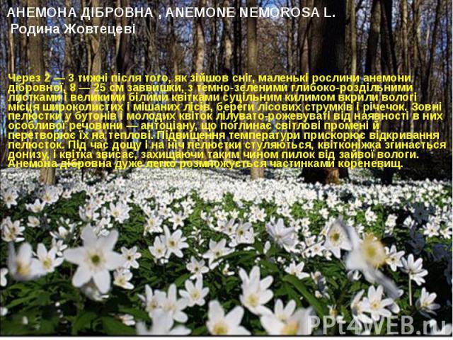 АНЕМОНА ДІБРОВНА , ANEMONE NEMOROSA L. Родина Жовтецеві Через 2 — 3 тижні після того, як зійшов сніг, маленькі рослини анемони дібровної, 8 — 25 см заввишки, з темно-зеленими глибоко-роздільними листками і великими білими квітками суціль…
