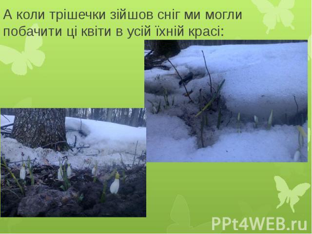 А коли трішечки зійшов сніг ми могли побачити ці квіти в усій їхній красі: