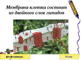 Мембрана клетки состоит из двойного слоя липидов