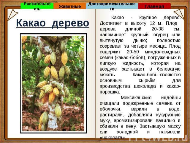 Какао дерево