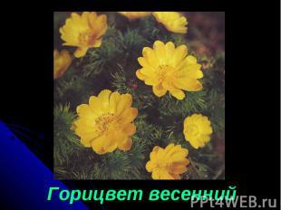 Горицвет весенний Горицвет весенний