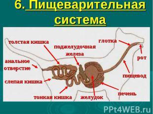6. Пищеварительная система