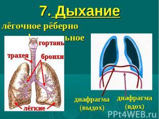 7. Дыхание