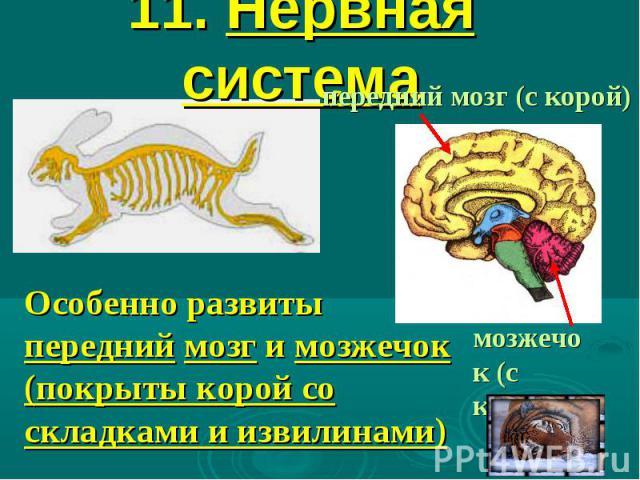 11. Нервная система