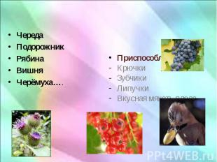 Череда Череда Подорожник Рябина Вишня Черёмуха….