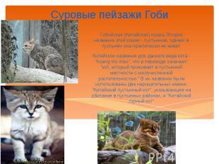Суровые пейзажи Гоби Гобийская (Китайская) кошка. Второе название этой кошки - п