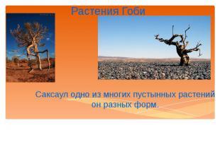 Растения Гоби Саксаул одно из многих пустынных растений он разных форм.