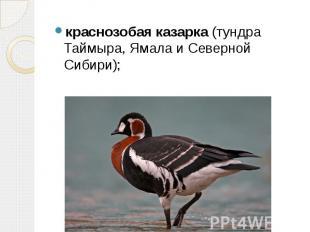 краснозобая казарка (тундра Таймыра, Ямала и Северной Сибири); краснозобая казар