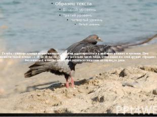Голубь – универсальная птица, которая способна адаптироваться к нужному режиму и