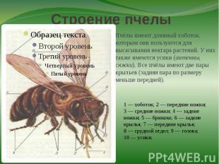 Строение пчелыПчёлы имеют длинный хоботок, которым они пользуются для высасывани