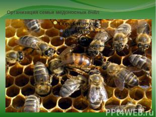Организация семьи медоносных пчёлПчёлы — высокоорганизованные насекомые. Они сов