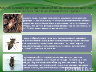 Состоит сообщество из единственной матки, нескольких десятков тысяч рабочих пчёл