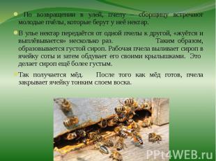 По возвращении в улей, пчелу – сборщицу встречают молодые пчёлы, которые берут у