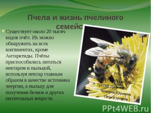 Пчела и жизнь пчелиного семействаСуществует около 20 тысяч видов пчёл. Их можно