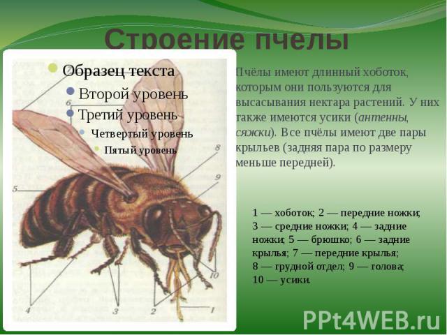 Строение пчелыПчёлы имеют длинный хоботок, которым они пользуются для высасывания нектара растений. У них также имеются усики (антенны, сяжки). Все пчёлы имеют две пары крыльев (задняя пара по размеру меньше передней).