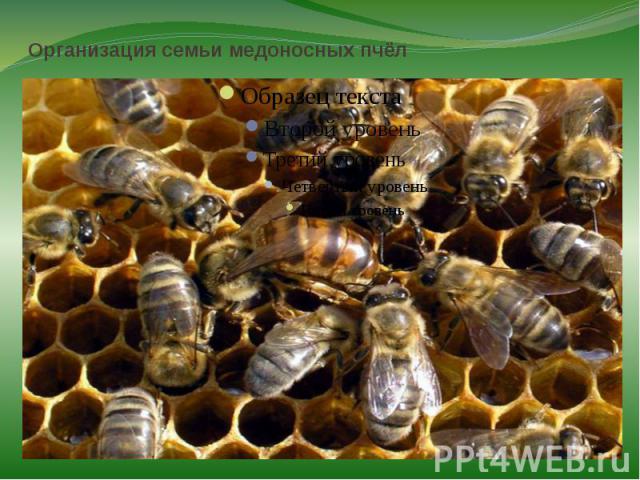 Организация семьи медоносных пчёлПчёлы — высокоорганизованные насекомые. Они совместно осуществляют поиск пищи, воды, жилья при необходимости, совместно защищаются от врагов. В улье пчёлы совместно строят соты, ухаживают за потомством, маткой.