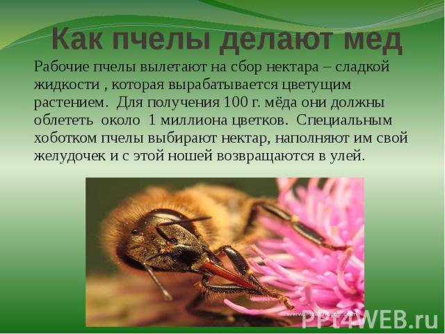 Как пчелы делают медРабочие пчелы вылетают на сбор нектара – сладкой жидкости , которая вырабатывается цветущим растением. Для получения 100 г. мёда они должны облететь около 1 миллиона цветков. Специальным хоботком пчелы выбирают нектар, наполняют …