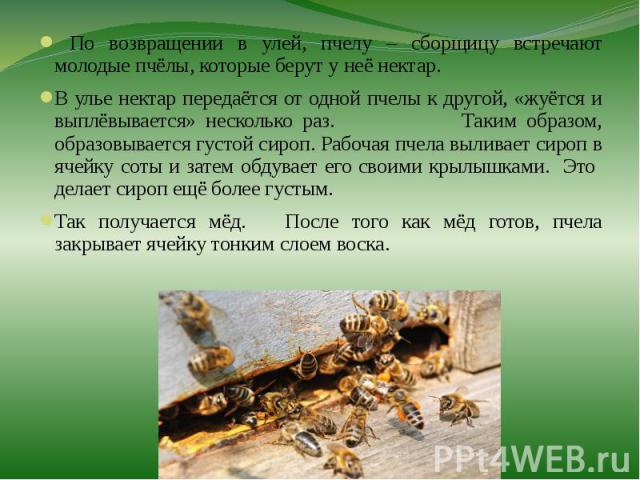 По возвращении в улей, пчелу – сборщицу встречают молодые пчёлы, которые берут у неё нектар. По возвращении в улей, пчелу – сборщицу встречают молодые пчёлы, которые берут у неё нектар. В улье нектар передаётся от одной пчелы к другой, «жуётся и вып…