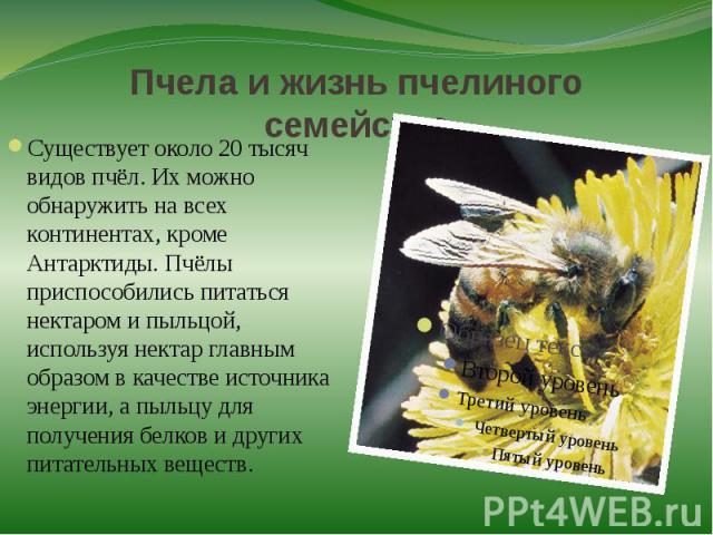 Пчела и жизнь пчелиного семействаСуществует около 20 тысяч видов пчёл. Их можно обнаружить на всех континентах, кроме Антарктиды. Пчёлы приспособились питаться нектаром и пыльцой, используя нектар главным образом в качестве источника энергии, а пыль…