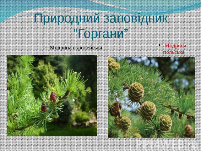 """Природний заповідник """"Горгани"""" Модрина європейська"""