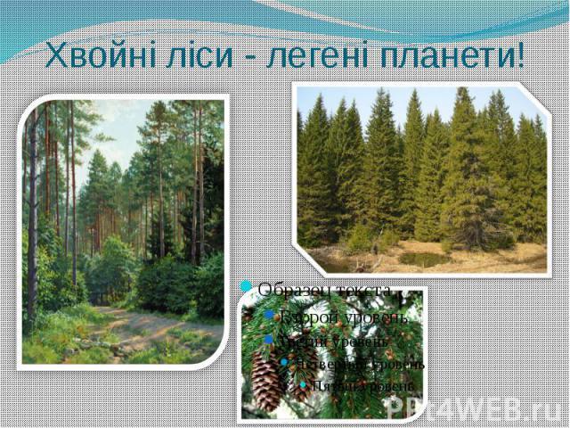 Хвойні ліси - легені планети!