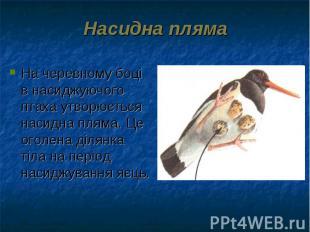 На черевному боці в насиджуючого птаха утворюється насидна пляма. Це оголена діл