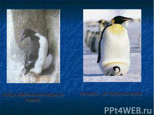 Пінгвіни – не будують гнізд. Пінгвіни – не будують гнізд.