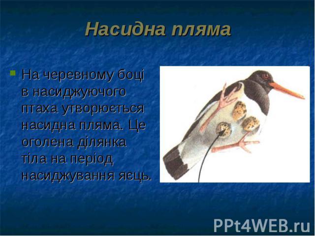На черевному боці в насиджуючого птаха утворюється насидна пляма. Це оголена ділянка тіла на період насиджування яєць. На черевному боці в насиджуючого птаха утворюється насидна пляма. Це оголена ділянка тіла на період насиджування яєць.