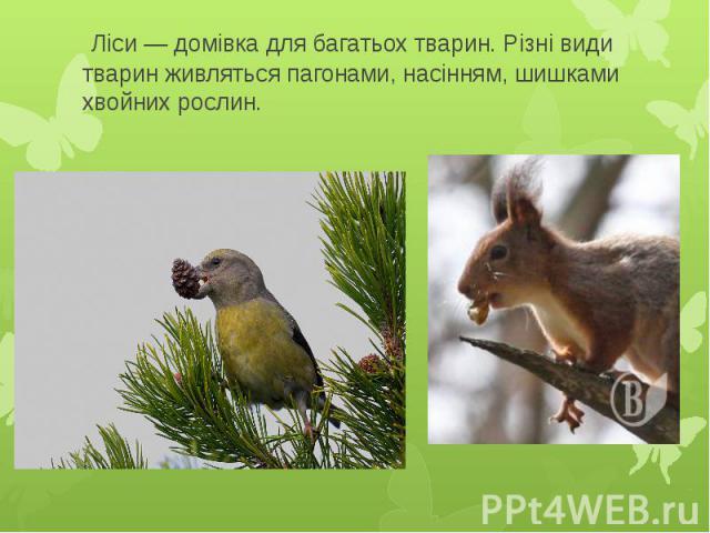 Ліси — домівка для багатьох тварин. Різні види тварин живляться пагонами, насінням, шишками хвойних рослин.