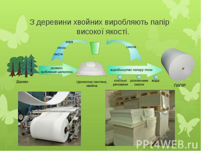З деревини хвойних виробляють папір високої якості.