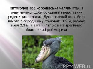 Китоголовабокоролівська чапля- птах із ряду лелекоподібних, єдиний п